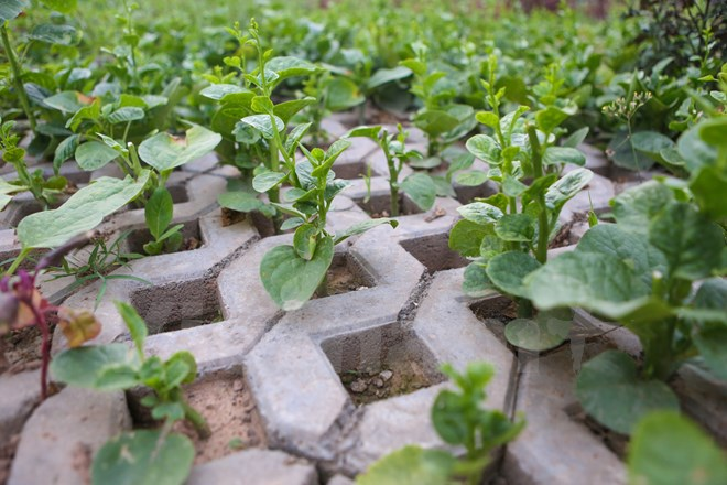 Nỗi lo rau bẩn tràn lan trên thị trường nên ngày càng nhiều người dân sống tại Hà Nội làm 'nông dân' tự trồng rau sạch. Cách này không chỉ để cải thiện chất lượng bữa ăn cho gia đình mà còn góp phần tiết kiệm khoản chi phí không nhỏ. (Ảnh: Minh Sơn/Vietnam+)