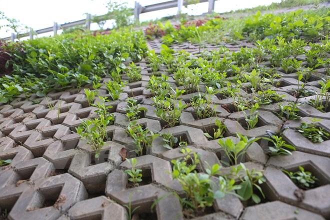 Nhờ có thiết kế theo kiểu tổ ong, tạo nên mỗi ô vuông đều tăm tắp to chừng nắm tay nên người dân đã nghĩ ra việc tận dụng những hốc bêtông đó để trồng những loại rau ngắn mùa. (Ảnh: Minh Sơn/Vietnam+)