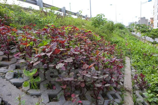 Đoạn taluy dài gần 1km vốn để chống sạt lở cho hai bên đường Bưởi cỏ lau dại mọc kín. Thấy vậy, một số gia đình đã quyết tâm khai hoang và biến những ô đất trống này trở thành vườn rau sạch cho gia đình. (Ảnh: Minh Sơn/Vietnam+)