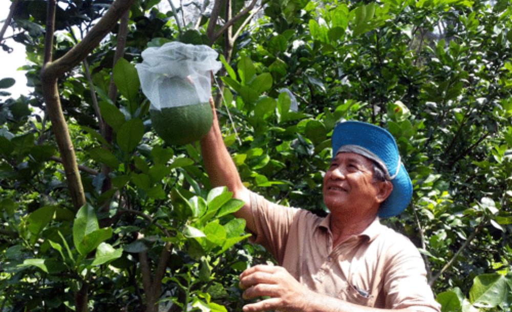 Lão nông Nguyễn Văn Long chăm sóc vườn bưởi da xanh thực nghiệm. Ảnh: Hồ Văn