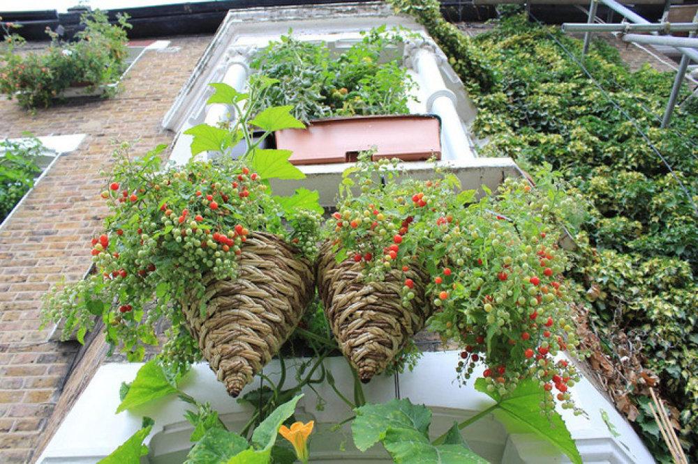 Các bà nội trợ còn tận dụng cả rổ rá, thúng mủng để trồng rau sạch