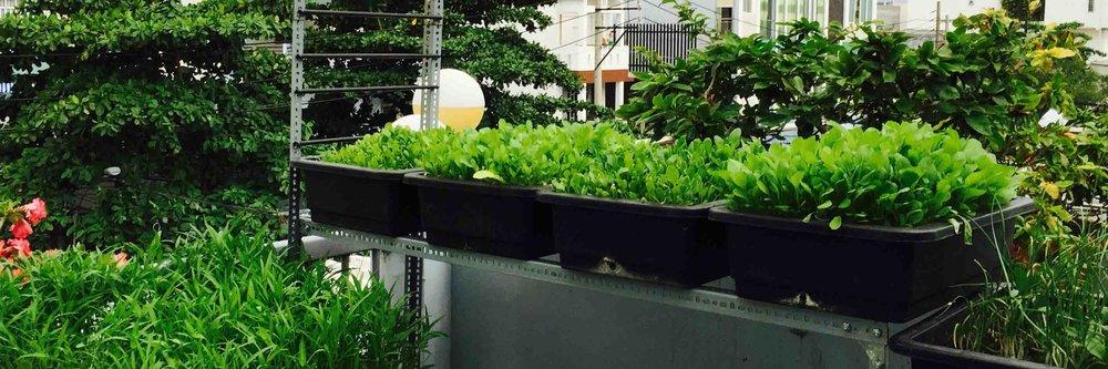 Việt Nam: Những vườn rau sân thượng  -