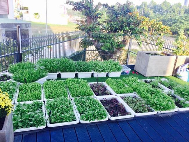 - Lý Hải cũng có 15 khay trồng rau trên mái nhà.