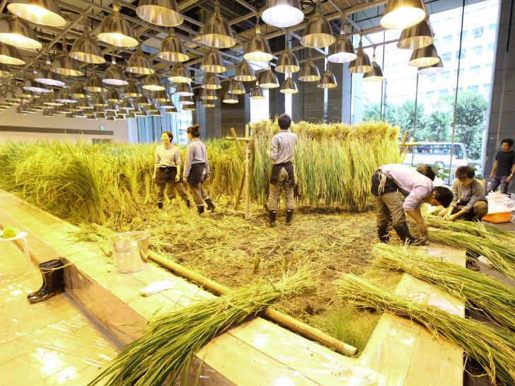 Cùng nhau thu hoạch lúa cũng là một hoạt động 'team building' để gắn kết các nhân viên trong công ty.