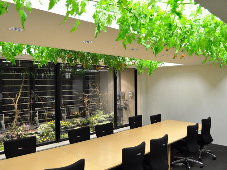 Trên trần phòng họp là giàn cà chua chín mọng, quả là một phong cách chỉ có ở Nhật Bản.