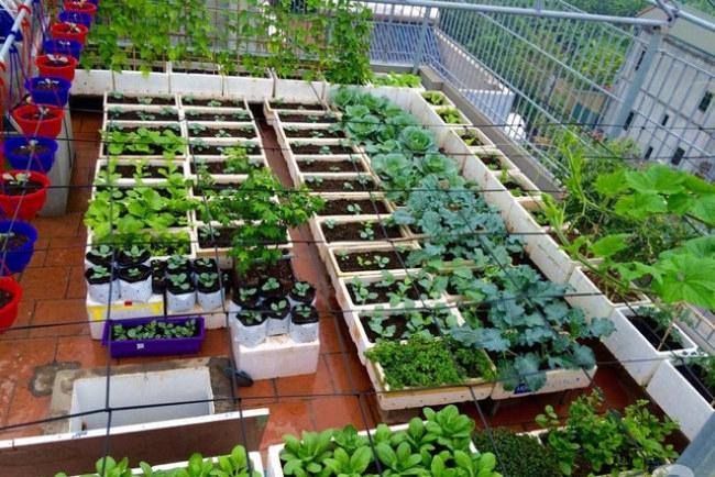 - Vườn rau của anh Tuấn sử dụng hệ thống tưới tự động, hiệu quả đối với những người bận rộn không có nhiều thời gian chăm sóc vườn rau.