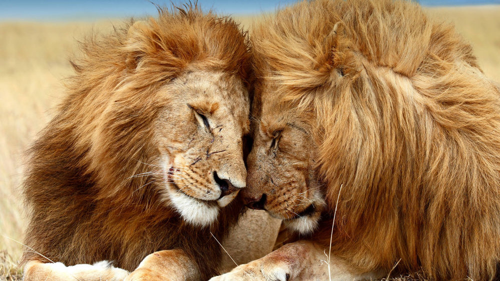 animals_hero_lions_0.jpg