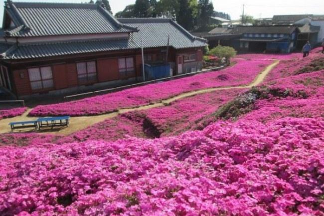 - Nguồn cảm hứng đến với ông khi ông đứng cạnh khu vườn nhà mình và nhìn thấy một đóa hoa trúc đào màu tím thơm ngát.