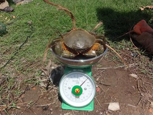 Sau 4-5 tháng, ao nuôi cho thu hạch với năng suất 260-280kg/ha (loại từ 2-3 con/kg) .