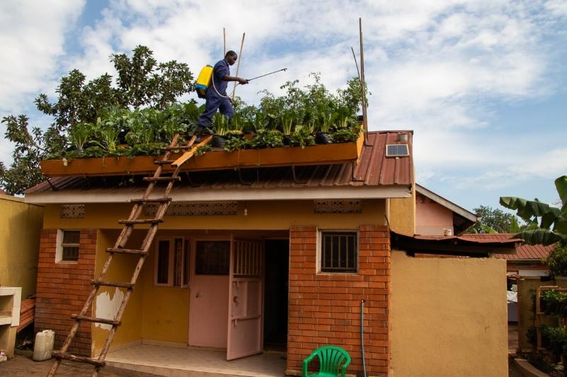 Các vườn rau trong đô thị ở Kampala, Uganda, tận dụng được hầu hết các không gian chật hẹp trong thành phố (Ảnh Nils Adler)