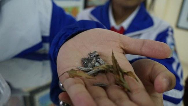 Nhộng ruồi lính đen được dùng làm thức ăn cho gia cầm