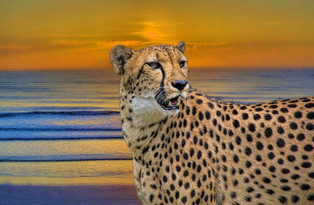 """Cheetah Sunset"" by Randy Matthews"