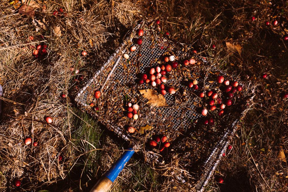 cranberry harvest-11.jpg