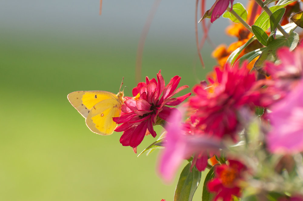 Profusion Zinnias with Yellow Butterfly | Sweet Pickins Studio Photography