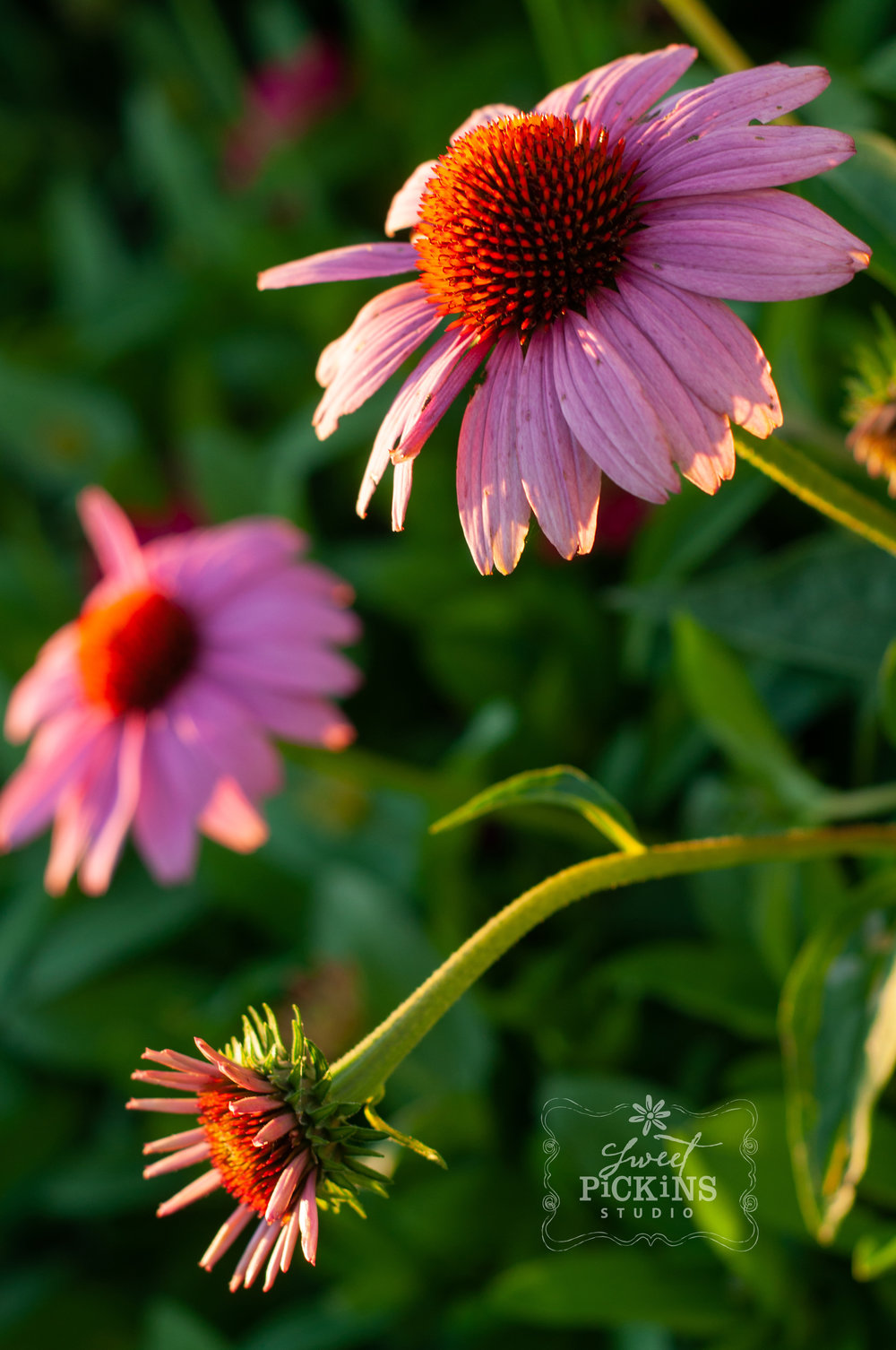 Purple Coneflower Echinacea in the Garden