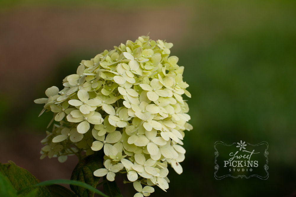 Hydrangea Bloom Close-Up | Peru, Indiana Garden Photography