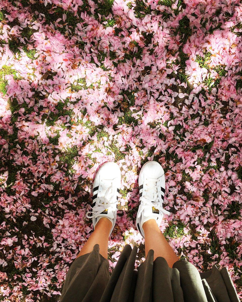 Cherry Blossom Festival, Brooklyn Botanic Garden, NY