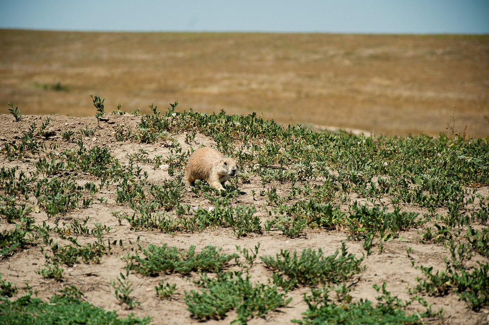Prairie dog in Badlands National Park, SD
