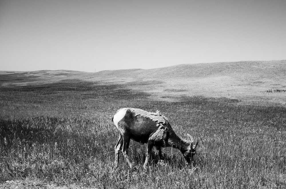 Bighorn sheep in Badlands National Park, SD