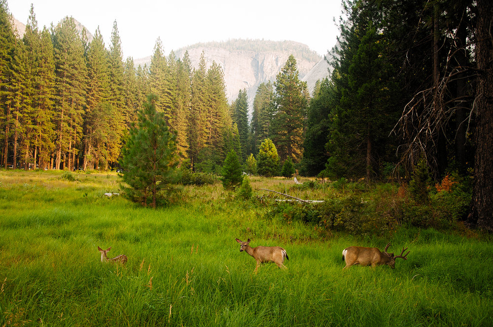 Deer in Yosemite Valley, Yosemite National Park, CA