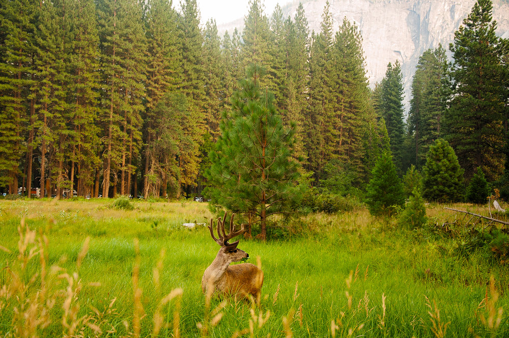 Deer in Yosemite Valley, Yosemite National Park, CA,