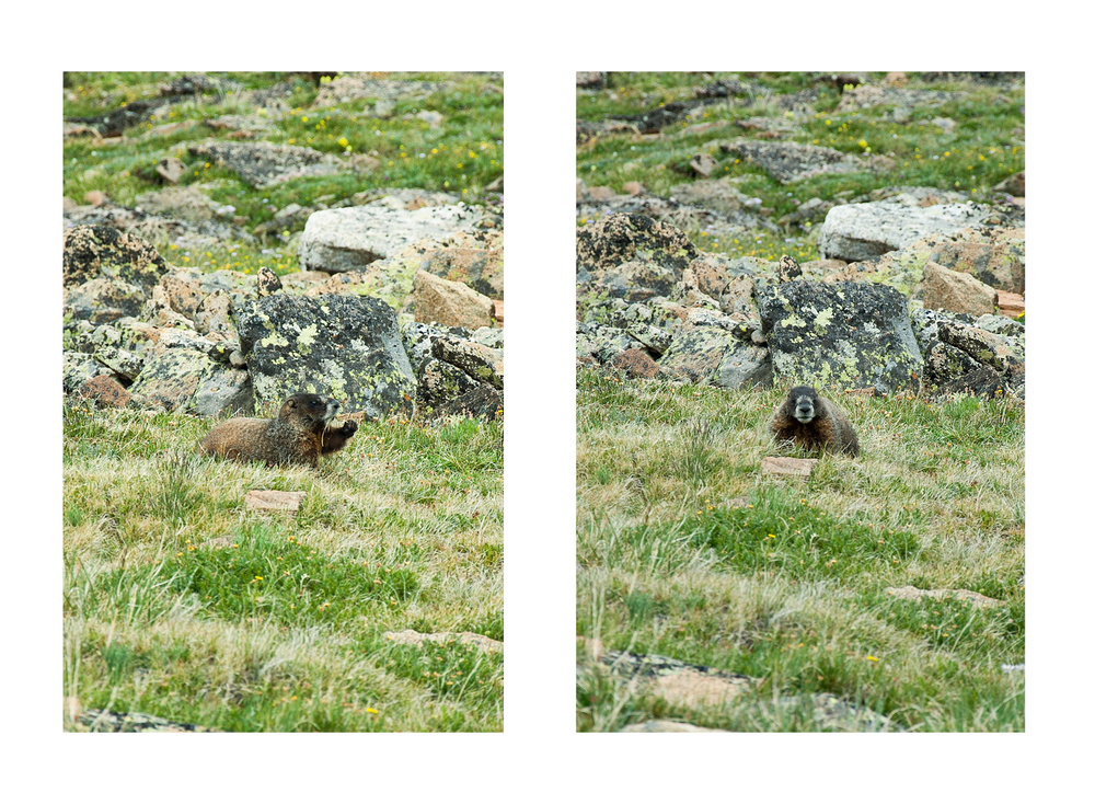 Marmot in Rocky Mountain National Park, CO