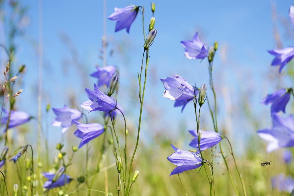 "The harebell, or Scottish Bluebell, unlike the common bluebell, prefers grasslands and meadows rather than the floors of ancient woodlands. Photo credit: © Ievgeniia | Dreamstime.com - Field Of Harebell In The Springtime Photo Note: In Finland they are called ""Cat's Bell."""