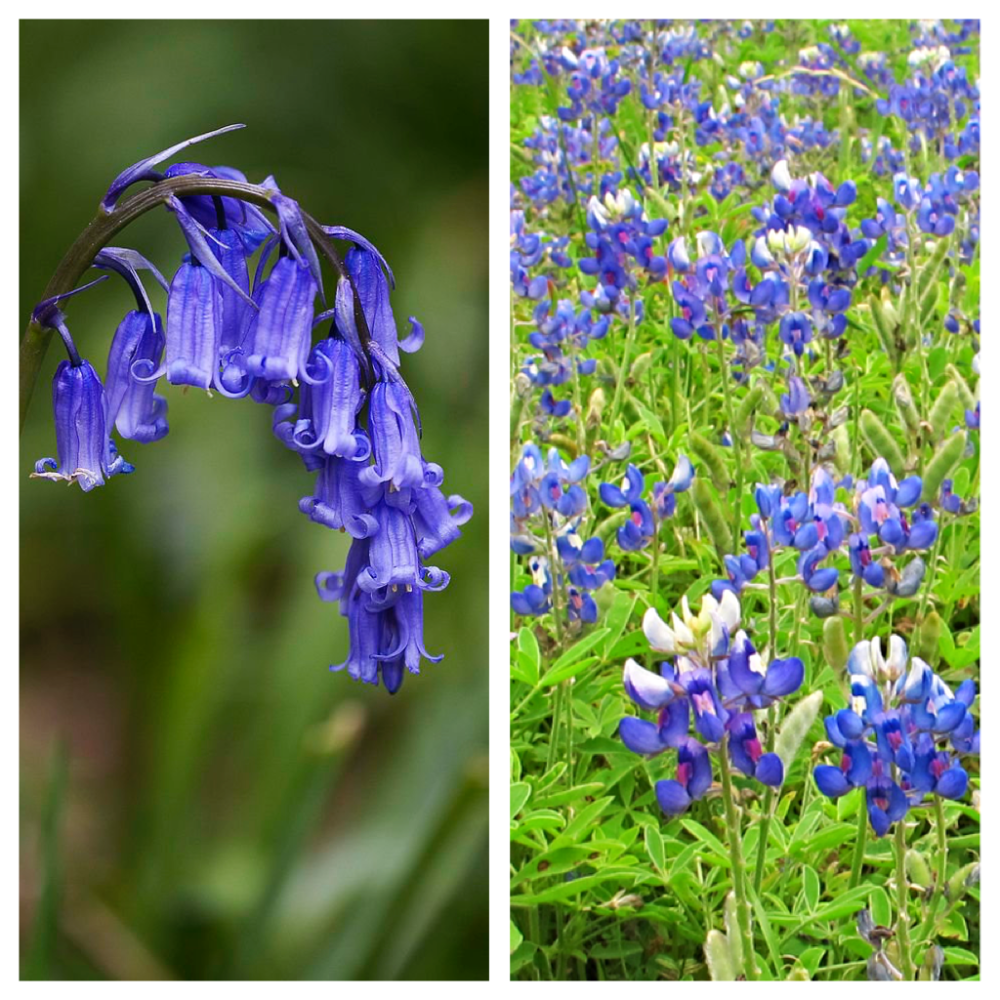 Bluebells And Bluebonnets The Flowers Of Scotland And Texas A