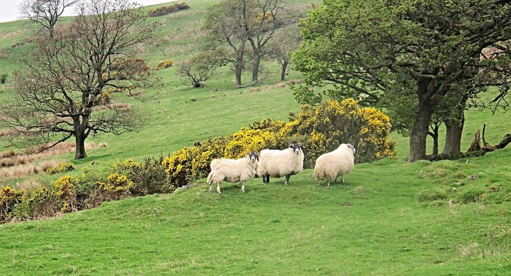 gavinburn sheep.jpg