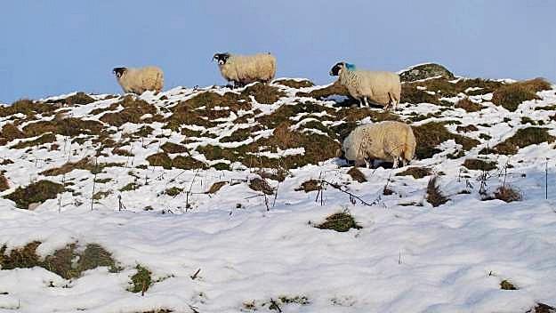 gavinburn sheep snow.jpg