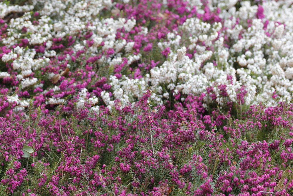 Based on an ages old Scottish legend, white heather is considered lucky. Stock photo