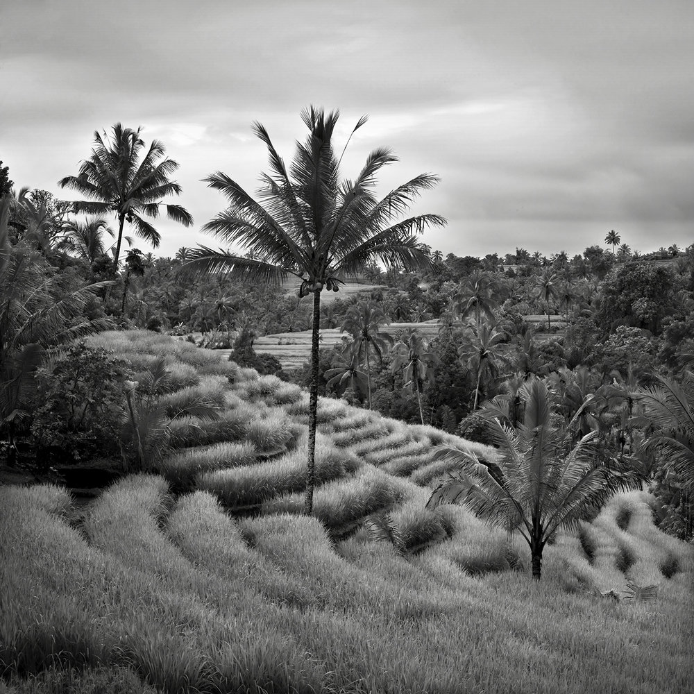 Terraced Field and Palm, Bali - 2010 copy.jpg