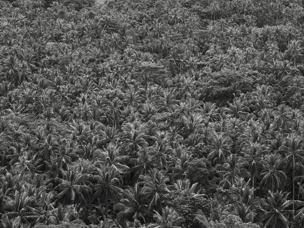 Palm Trees, Bali, - 2010 copy.jpg