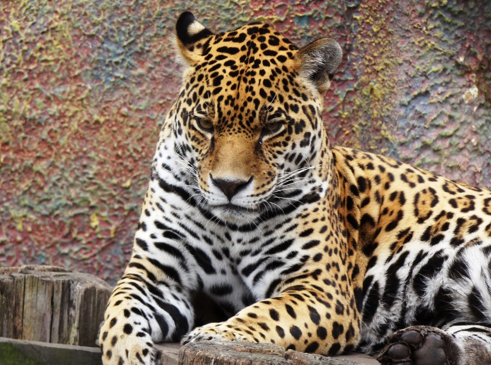 Panthera_onca_Colombia.JPG