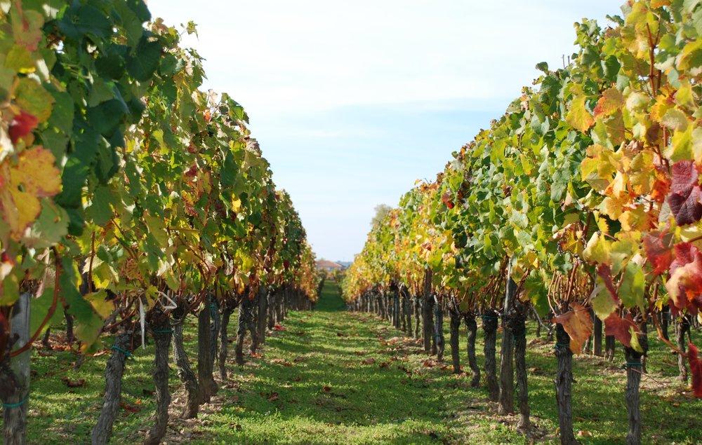 Vigne_-_Vignes_en_automne.jpg