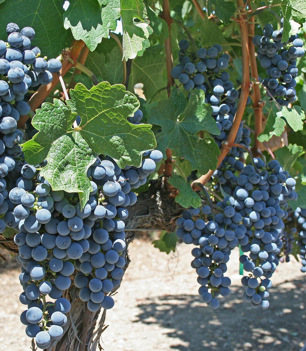 Grape_Vines_-_Cliff_Lede_Winery.jpg