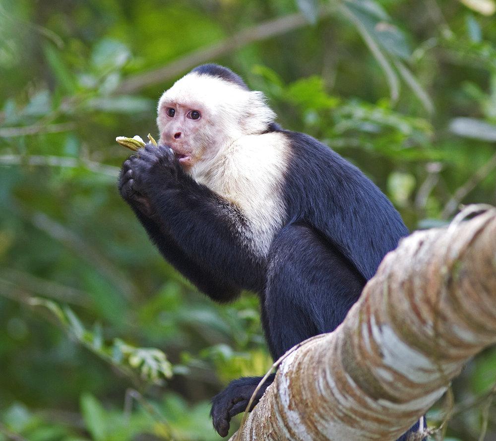 White_faced_Capuchin.jpg