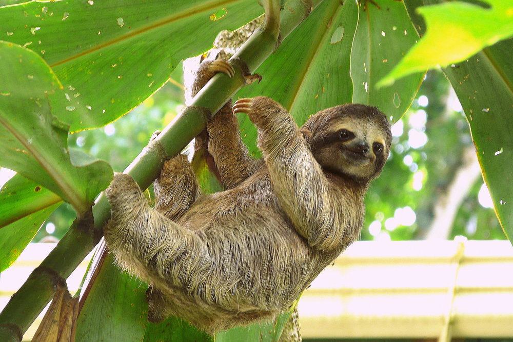 Sloth in Puerto Viejo, Costa Rica..jpg