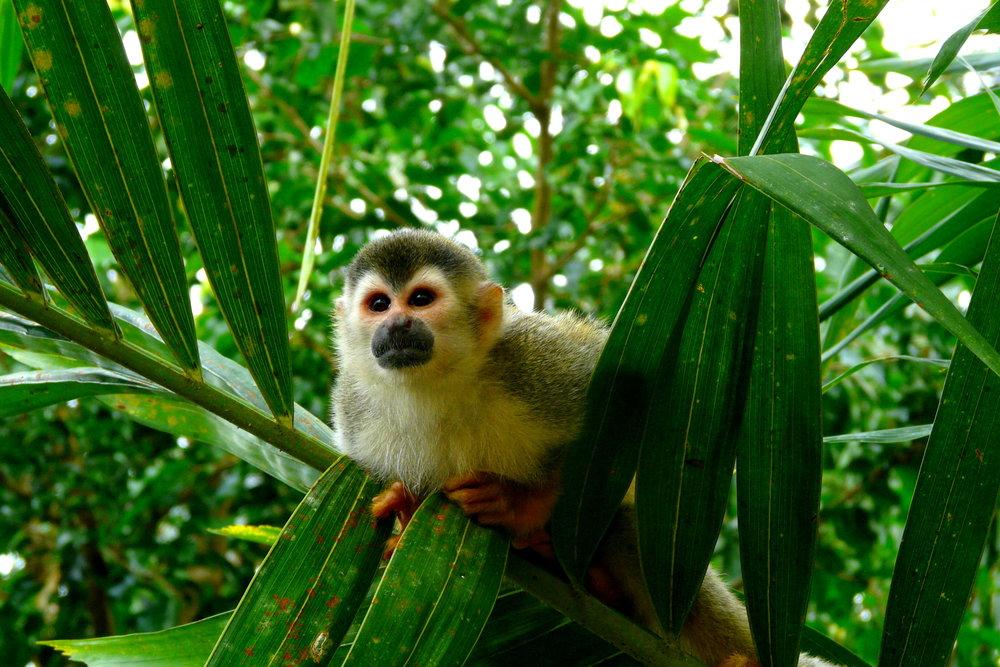 Squirrel monkey in Manuel Antonio National Park, Costa Rica.jpg