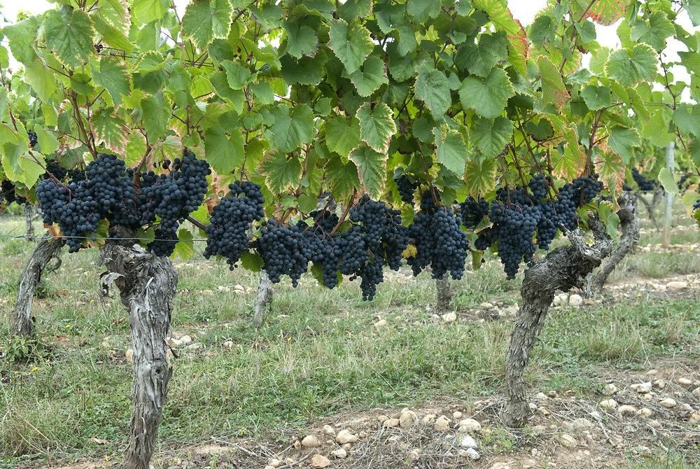 Cahors_vineyards_grapes_luzech_october_2009_2.jpg