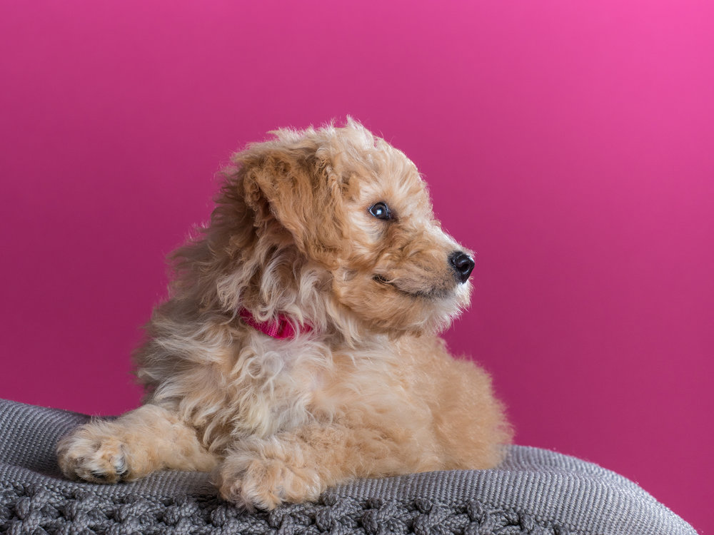 Bailey_goldendoodle_puppy_portraits_2.jpg