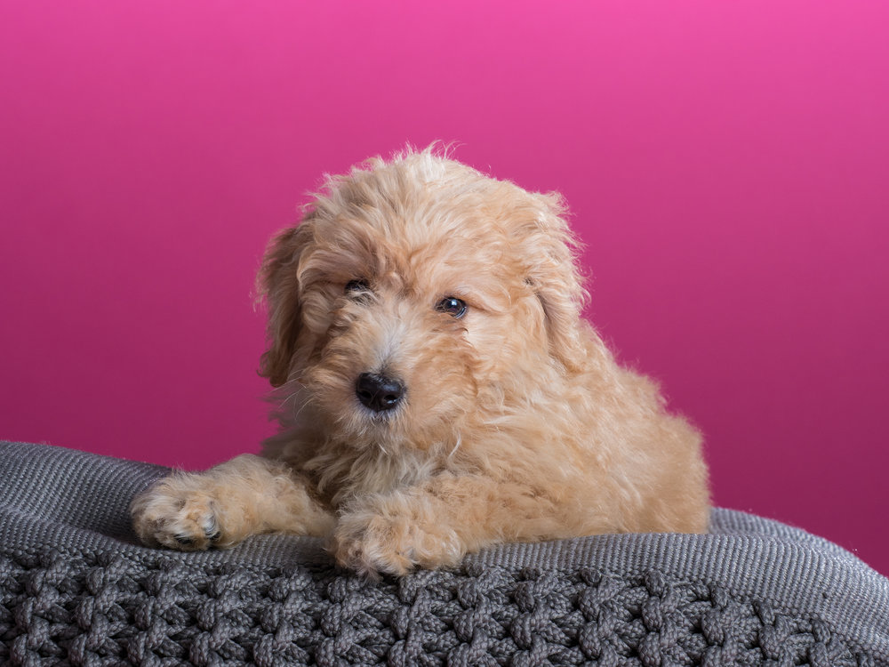 Bailey_goldendoodle_puppy_portraits_3.jpg