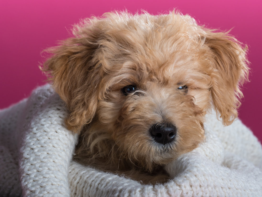 Bailey_goldendoodle_puppy_portraits_6.jpg