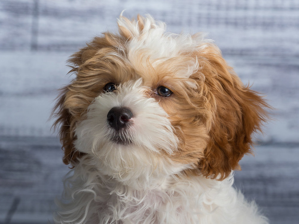 cavapoo_dog_pet_portrait_raleigh.jpg