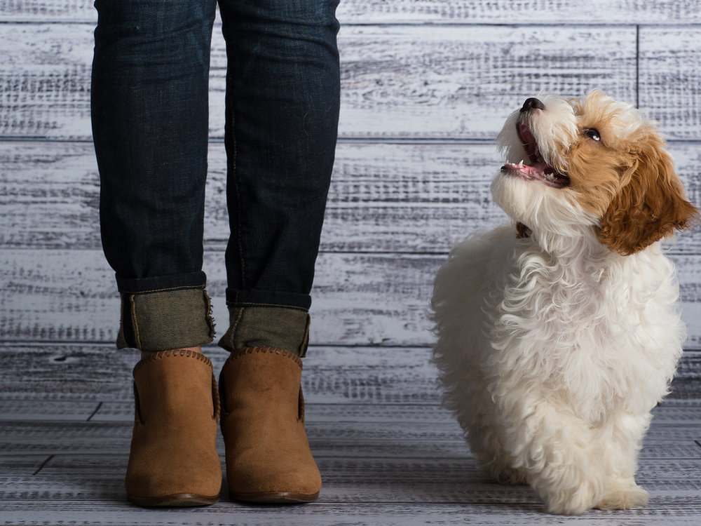 cavapoo_dog_pet_portrait_raleigh_2.jpg