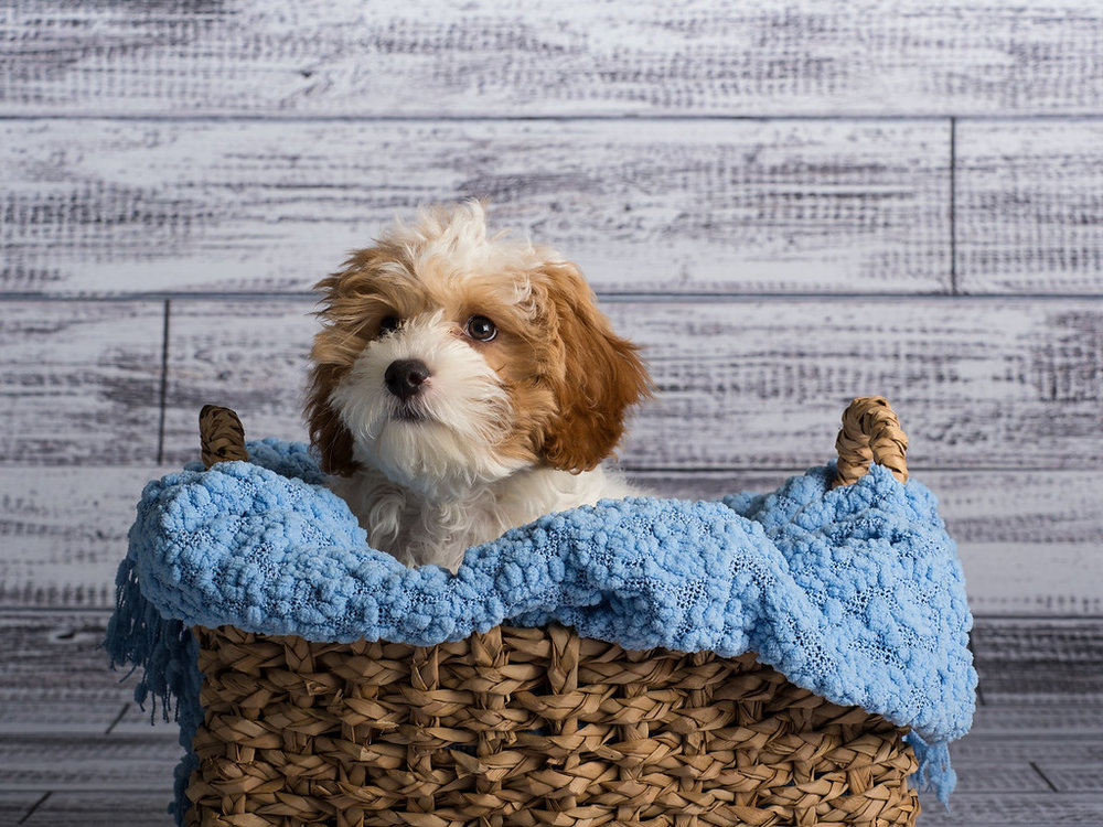 cavapoo_dog_pet_portrait_raleigh_6.jpg