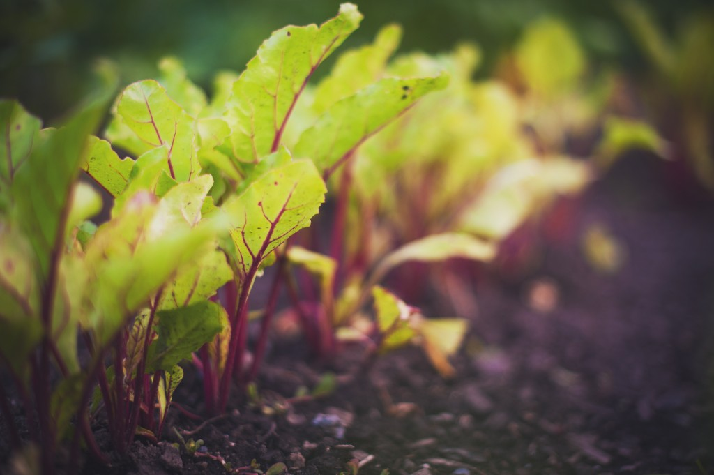 beet-planting-growing-closeup-harvest-montreal-botanical-garden