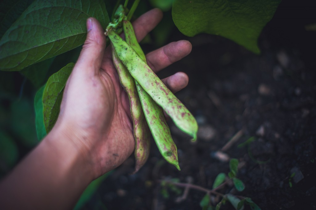dragon-tongue-beans-hand-montreal-botanical-garden-harvest-photographer-portrait-alex-tran
