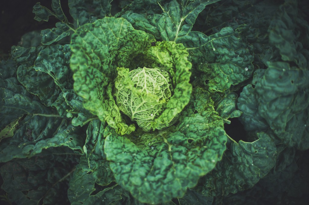 plant-vegetable-cabbage-montreal-botanical-garden-photographer-field-science-alex-tran