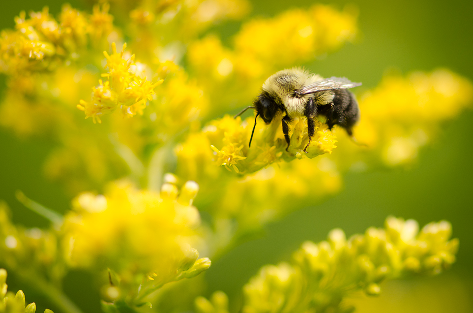 bumblebee-on-flower-goldenrods-Montreal-research-photographer